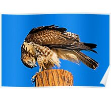 0808092 Red Tailed Hawk Poster