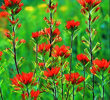 INDIAN PAINTBRUSH by Chuck Wickham
