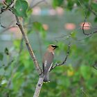 Cedar Waxwing by Janet Young
