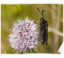 Six-spot Burnet Moth Poster