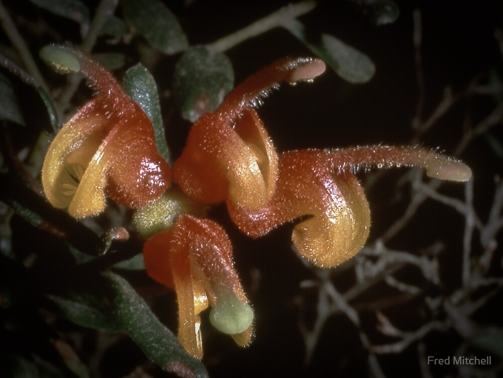 Grevillea Alpina Grampians 19871006 0005 by Fred Mitchell