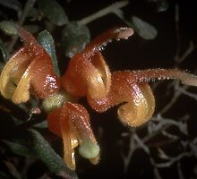 Grevillea Alpina Grampians 198710060005 by Fred Mitchell