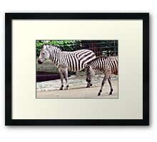 Zebras from the Berlin Zoo 2007 Framed Print