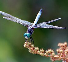 Blue Dasher by Gayle Dolinger