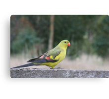 The Regent Parrot Canvas Print