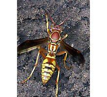 yellow  jacket wasp Photographic Print