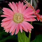 gerber daisy by Roslyn Lunetta