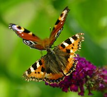 Red Admiral and Peacock Butterflies on purple Buddleia by weberwanjek   artography