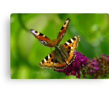 Red Admiral and Peacock Butterflies on purple Buddleia Canvas Print