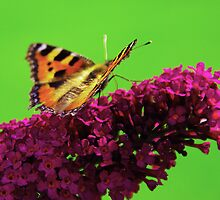 Red Admiral on Buddleia by Eva & Klaus WW