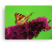 Red Admiral on Buddleia Canvas Print