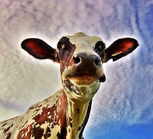 HDR, Ayrshire Cow by Jamie Roach