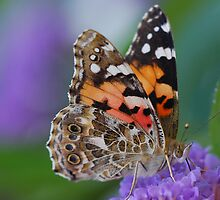 Painted Lady - Butterfly by Simon Pattinson