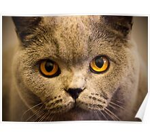 Ruby the British Blue cat aged one Poster