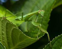 Hello Ms. Praying Mantis! by Jane Brack