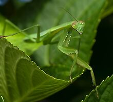 Hello Ms. Praying Mantis! by Jane Brack