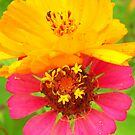 candy colored cosmos by Tracey Hampton