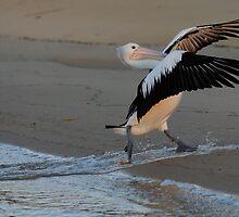 """ Pelican Surfie  Marlo Australia "" by helmutk"
