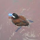 Blue Billed Duck Swimming by Paula Parker