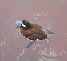 Blue Billed Duck Swimming Photographic Print