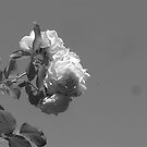 Roses - Black/White - PDX by orangedana