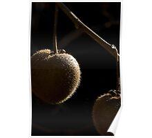 Kiwi Fruit - Actinidia deliciosa Poster