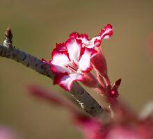 Impala Lily by Alexandra Roberts