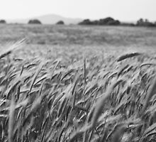Wheat field by olarty