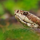Fakahatchee Cottonmouth by Rick Gomez