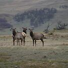 Cow Elk in the Rain by Donna Ridgway