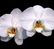 2 White Orchids by Maureen Clark