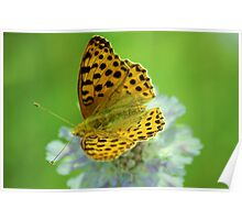 Queen of Spain Fritillary Poster