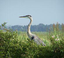 Heron  by Linda Costello Hinchey