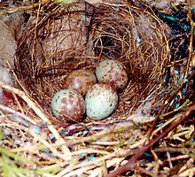 Bird eggs in a nest by Ocean1111