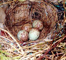 Bird eggs in a nest by Ocean1111