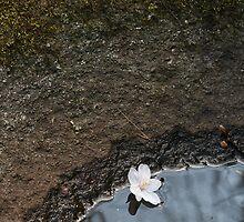 Fallen Cherry Blossom by nekineko