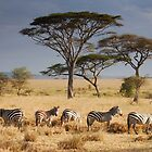 Zebras in the gold by Greg Nairn