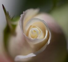 Gentle Rose by Cawi
