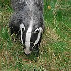 Badger watch by Gwyn Lockett