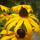 Blacked-Eyed Susans by Paula Parker