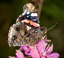 Red Admiral by Brian Haslam