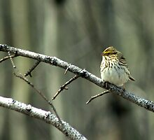 Savannah Sparrow by Bryony Griffiths
