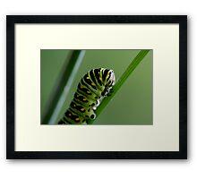 Larva (caterpillar)  Framed Print