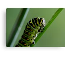 Larva (caterpillar)  Canvas Print