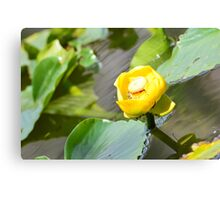 Yellow lily on a pond Canvas Print