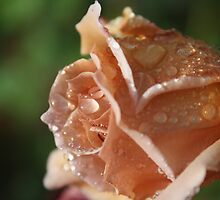 Julia Rose with water droplets by TeAnne