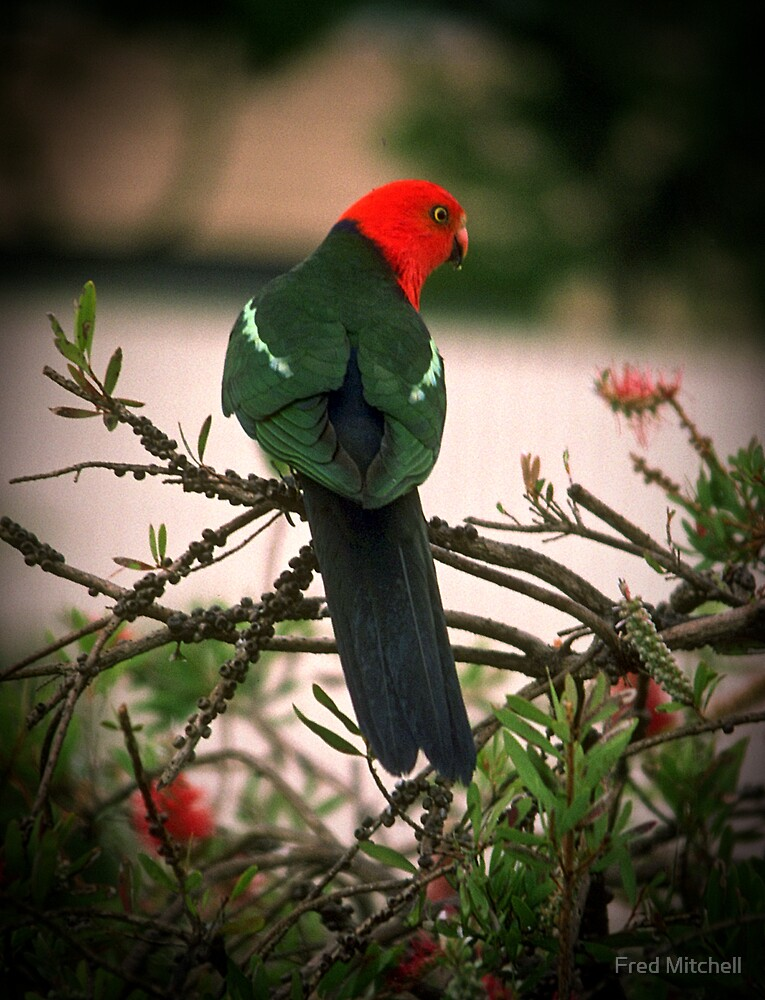 King Parrot (male) Tallangatta Bobs garden 19871119 0004 by Fred Mitchell