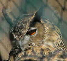 One-Eyed Owl by Len Bomba