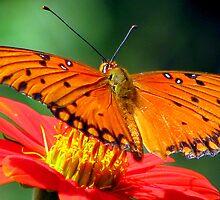 Gulf Fritillary Butterfly by DottieDees