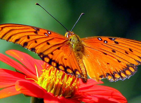 Gulf Fritillary Butterfly by DottieDees